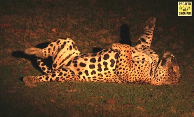 Fantasma é o macho dominante no Refúgio Ecológico Caiman, pousada no Pantanal onde o Projeto Onçafari está realizando o processo de habituação das onças-pintadas (Panthera onca) aos carros de passeio – Foto: Lawrence Weitz
