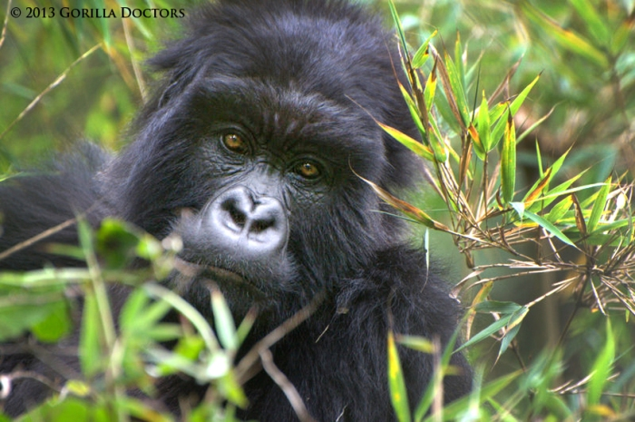 8-year-old female mountain gorilla Izihirwa of Musilikale group.