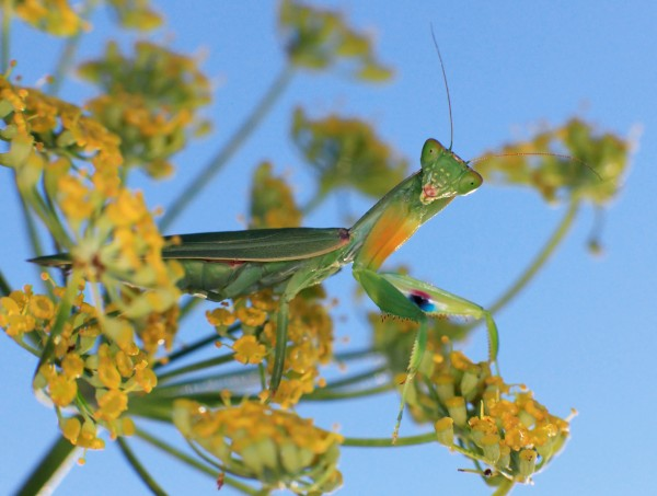 Orthodera novaezealandiae, New Zealand's native praying mantis. Photograph by Michael Lidski/Alamy