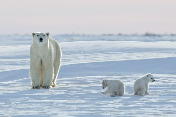 A polar bear watches over two cubs in Hudson Bay, near the town of Churchill, Manitoba. Photograph by David Jenkins/Robert Harding/Corbis .