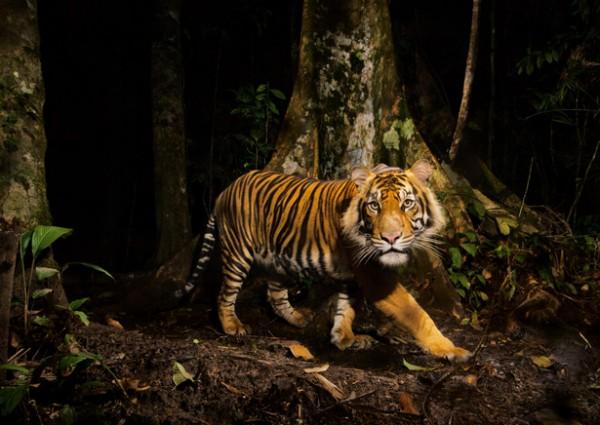 Bengal Tiger (NAT GEO)