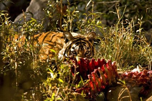 Tiger eating a kill in Ranthambhore