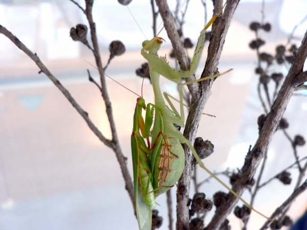 A male New Zealand mantis attempts to mate with an invasive female mantis. Photograph courtesy Murray Fea