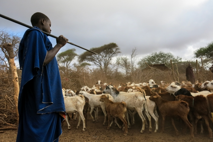 During the day, Maasai herd boys wander with the flock for the animals to graze. At night, without sturdy fencing, the herd can be attacked by carnivores.