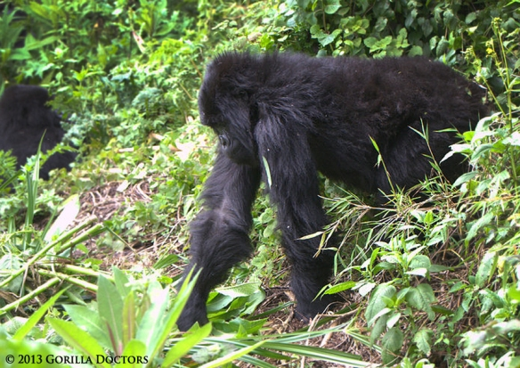 Izihirwa was moving and feeding during Dr. Noel's post-intervention assessment.