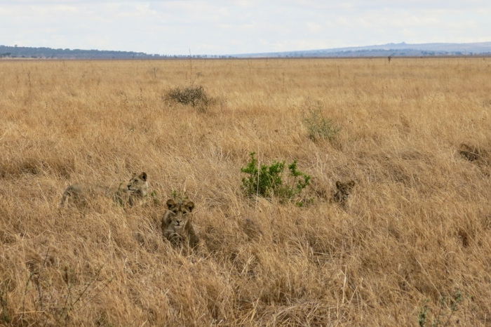 Lions hunt primarily at night and sleep—sometimes in tall grass near Tarangire National Park—during the day.