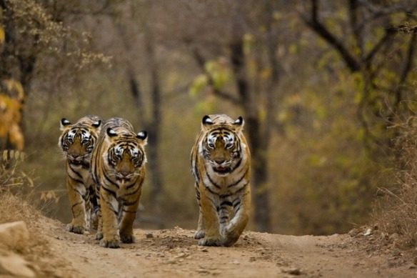 Three tigers walking on the forest tracks of Ranthambore tiger reserve
