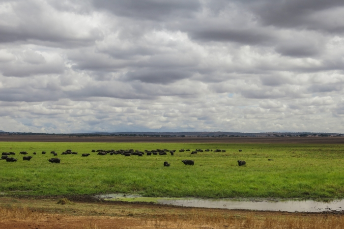 In the dry season, mammals like these buffalo gather where there's water.