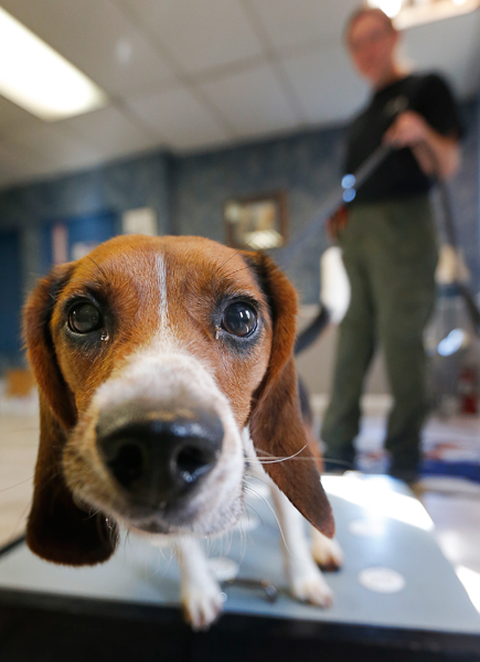 Elvis, a two-year-old beagle, checks out a camera lens while sniffing polar bear protein samples at Iron Heart Performance Dog Center in Shawnee, Kansas. Photograph by Orlin Wagner, AP.