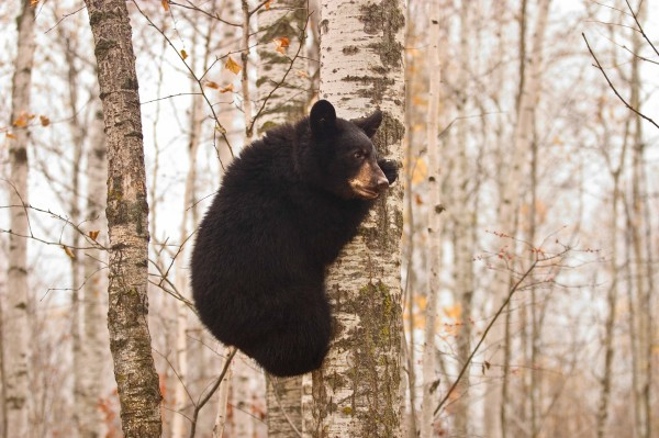 A black bear cub climbs a tree in Yellowstone National Park in the United States. Photograph by Gavriel Jecan, Corbis.