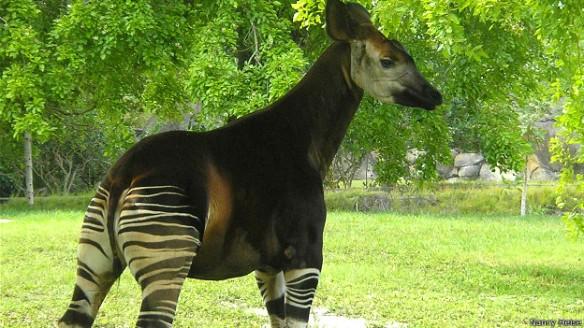 El extraño pariente de la jirafa está amenazado por la caza furtiva y la destrucción de su hábitat.