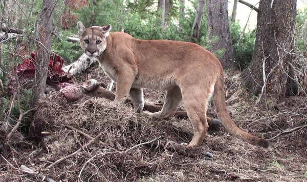 F61, an adult female being tracked as part of the Teton Cougar Project exhibits the characteristic rusty, orangey coat of Northern Rockies mountain lions. Photograph by Mark Elbroch/Panthera