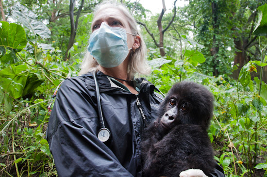 Dr. Jan with orphan Grauer's gorilla Shamavu in DRC in October 2011