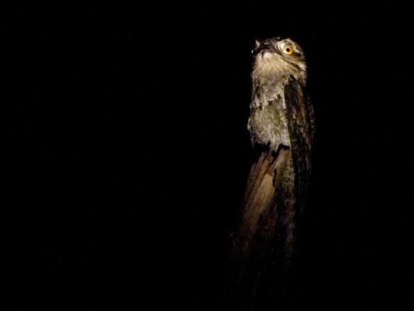 Mãe-da-lua ou urutau (Nyctibius griseus). Quando a luz da lanterna passa diretamente pela pupila da ave vemos dois olhos grandes e vermelhos. Isso acontece porque a luz bate nos vasos sanguíneos da retina e reflete a cor do sangue. Esse efeito amedrontador ajudou a criar a história do espírito da noite – Foto: Fábio Paschoal