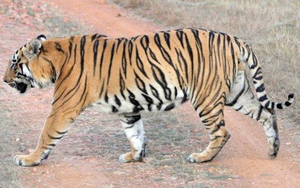 Left flank of Crooked Tail ID (c) Aditya Dhanwatey