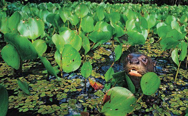 Nas água do Pantanal: a caça, legal até os anos 1960, deixou essas lontras perto da extinção. Foto:    João Marcos Rosa
