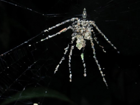 A new species of spider hides behind a giant decoy it built out of debris. Photograph courtesy Phil Torres