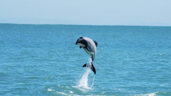 The tiny Maui's dolphins are only found off the west coast of New Zealand's North Island