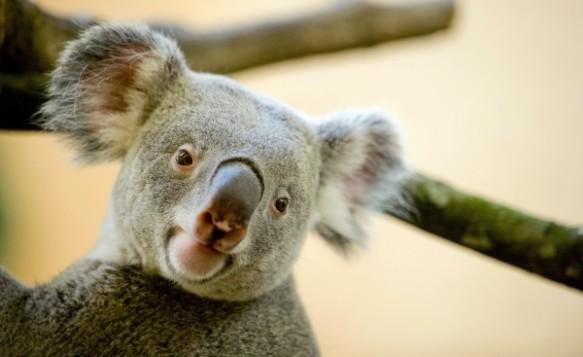 A male koala, Iraga, in his enclosure at the zoo in Dresden, Germany, on November 22. Photograph by Sebastian Kahnert, AP