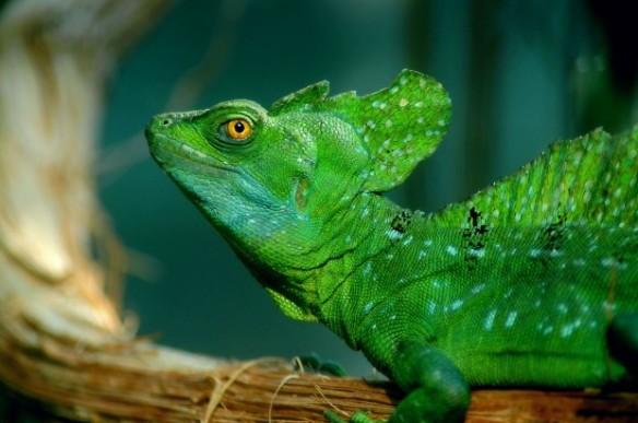 Basilisco-verde (Basiliscus plumifrons), o lagarto Jesus Cristo – Foto: Marcel Burkhard Cele4 – Wikimedia Commons