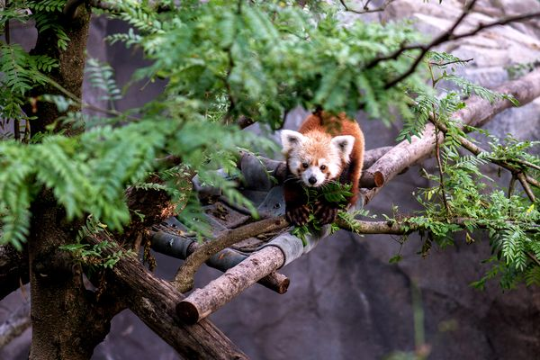 A red panda named Rusty went missing from the National Zoo this summer. He was found, unharmed, in a nearby neighborhood the following day. Photograph by Abby Wood, Smithsonian National Zoo via Getty Images .
