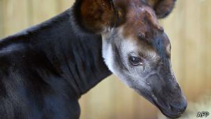 El okapi parece una jirafa pequeña de patas y cuello cortos, aunque su piel es muy distinta.