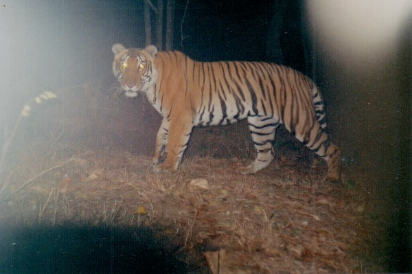 Sub-adult male tiger BPT-222 was first camera-trapped in 2009. Photograph by Ullas Karanth/Wildlife Conservation Society.
