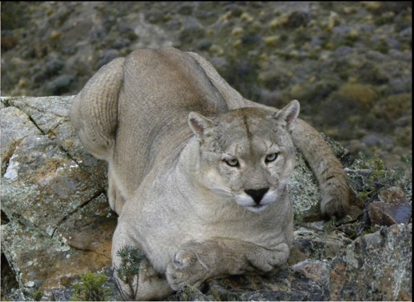 Adult male cougar, gray, Patagonia. Photograph by Mark Elbroch/Panthera