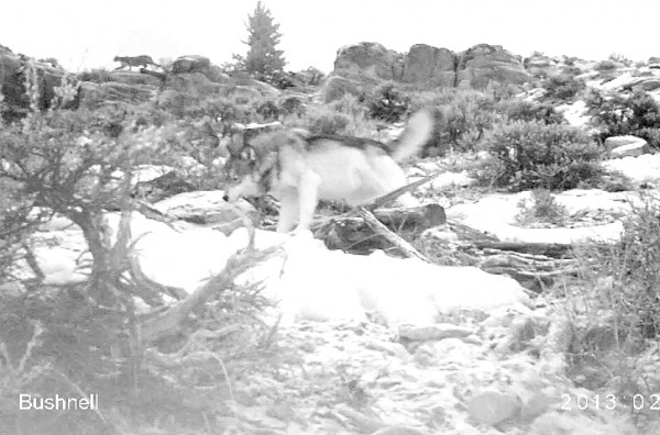 Look carefully for the mountain lion in the background, pushed off its kill by a large wolf caught on remote camera. Photograph courtesy Teton Cougar Project/Panthera