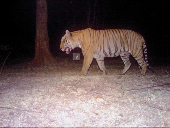 The Bandipur man-eater captured on camera trap by WCS team. (c) Ullas Karanth/WCS