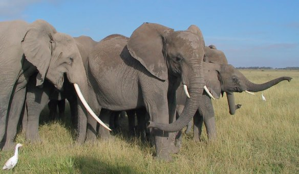 Little-greeting between matriarch Grace and family members. (©ElephantVoices)