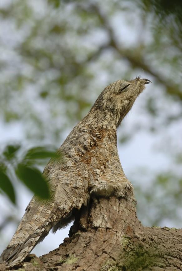 O mãe-da-lua-grande (Nyctibius grandis) é o responsável pelo canto que vocês ouviram no início do post. Além dele existem mais quatro espécies de urutau no Brasil – Foto: iStockphoto/Thinkstock
