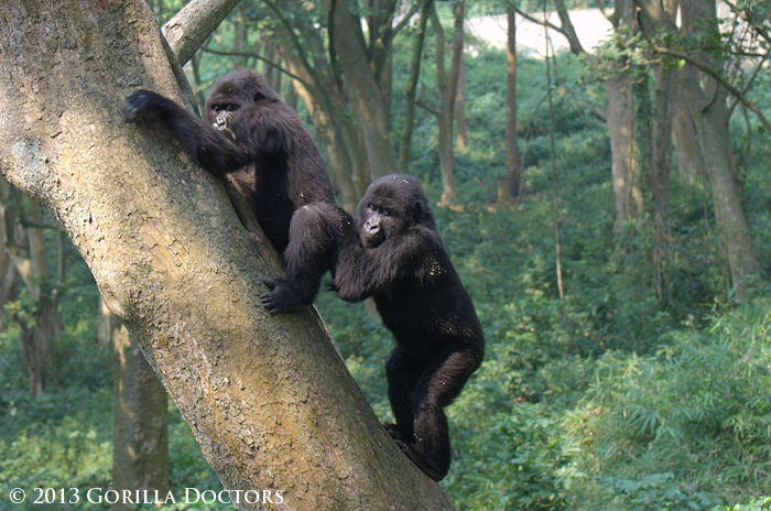 Maisha and Ndeze, in their large forested enclosure at the Senkwekwe Center.