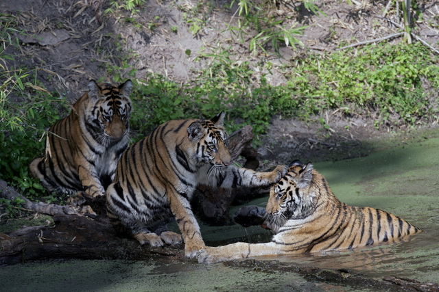 Sibling bonds are also very important in nurturing tiger behaviour (c) Kim Sullivan