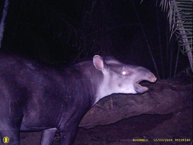 Tapirus kabomani é a primeira espécie de anta descoberta após Tapirus bairdii, descrita em 1865 – Foto: Divulgação