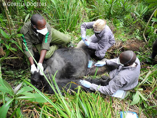 Dr. Dawn leads a veterinary intervention on injured silverback Inshuti.