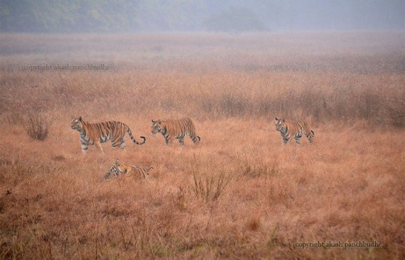 Jaya and her cubs trail her through Rajbehra meadow(c) Akash
