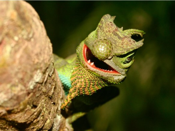 L. scutatus, a close relative of Ceratophora lizards. Photograph by Ruchira Somaweera, National Geographic
