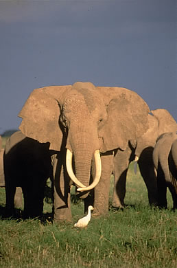 Echo, world renown Amboseli matriarch. (©ElephantVoices)