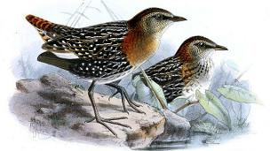 La polluela especulada habita en Etiopía, Zimbabwe y Sudáfrica.