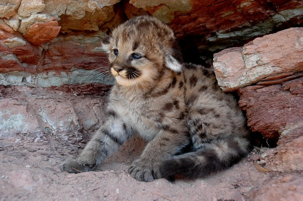 Cougar kittens, by contrast, are spotted. Photograph by Dave Priestly/Teton Cougar Project