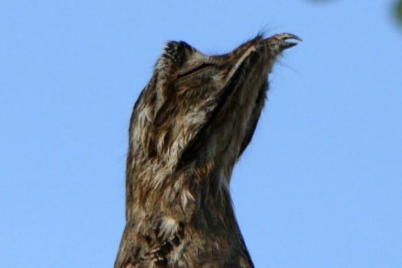 """Detalhe do """"olho mágico"""" do urutau (Nyctibius griseus). As duas pequenas aberturas nas pálpebras permitem que a ave veja o que está acontecendo sem abrir os olhos totalmente. Com isso ele mantém o disfarce de galho quebrado e sabe se o predador está chegando perto demais. Em último caso, ele voa e deixa seu ovo para trás – Foto: Fábio Paschoal"""