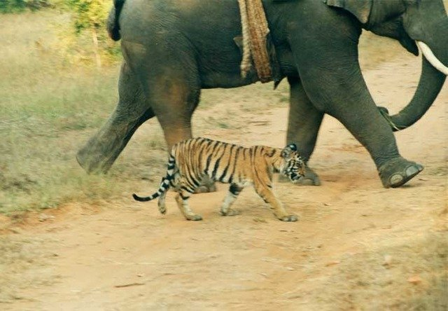 The blind cub sought the company of all creatures that emitted noise. Sound attracted her. (c) Kay Tiwari
