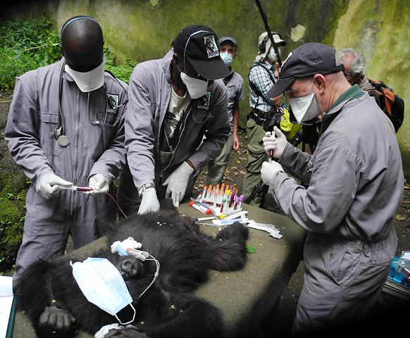 Drs. Mike, Eddy and Martin take samples for further testing during Matabishi's exam.