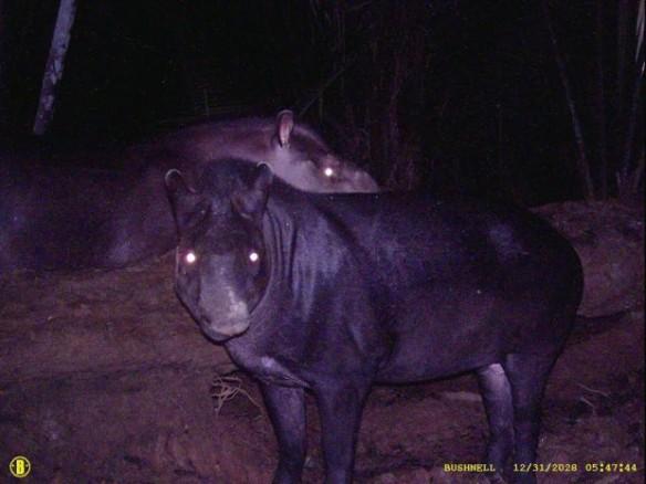 A nova espécie de anta (Tapirus kabomani) pode chegar a 100 quilos, é menor, possui patas mais curtas e coloração mais escura do que a anta-brasileira (Tapirus terrestris) – Foto: Divulgação