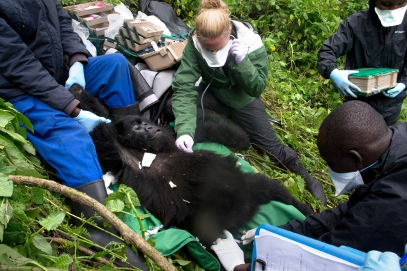 Dr. Dawn checks 5-year-old Gutungura's heartrate during a snare intervention in Rwanda.