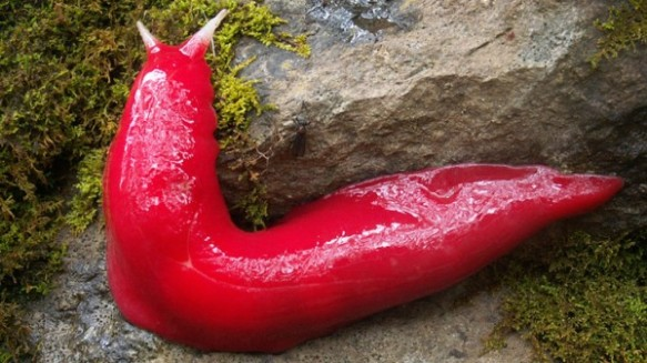 The new hot-pink slug found in Australia. Photograph courtesy Michael Murphy/NPWS