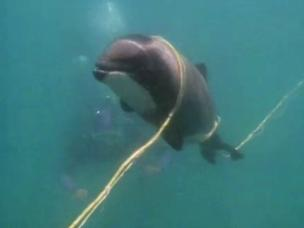 Fishing nets are the biggest threat facing New Zealand's native dolphins