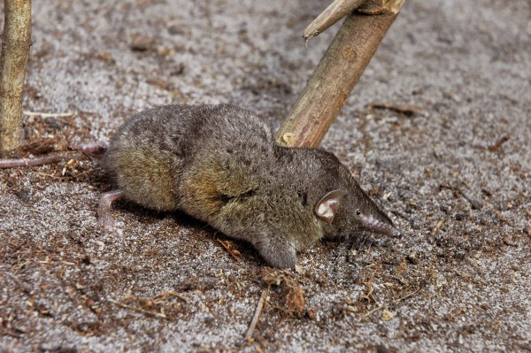 The new shrew. Photograph by William Stanley, The Field Museum of Natural History