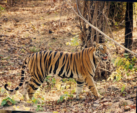 Bachchi, the Blind cub's sibling, the famous B2's mother and daughter of legendary Sita (c) Kay Hassall Tiwari